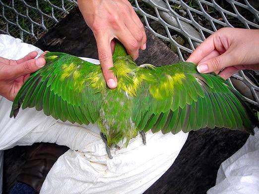 Фото - Чим хворіють папуги?