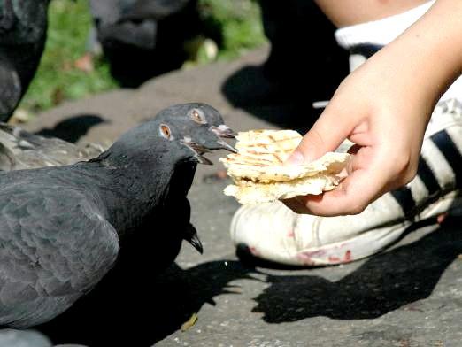 Фото - Чим годувати голубів?