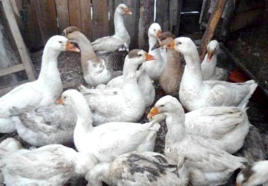 Фото - Чим годувати гусей?