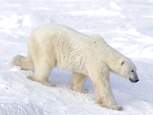 Фото - Де живуть білі ведмеді?