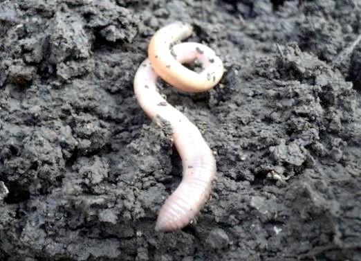 Фото - До чого сниться білий черв'як?