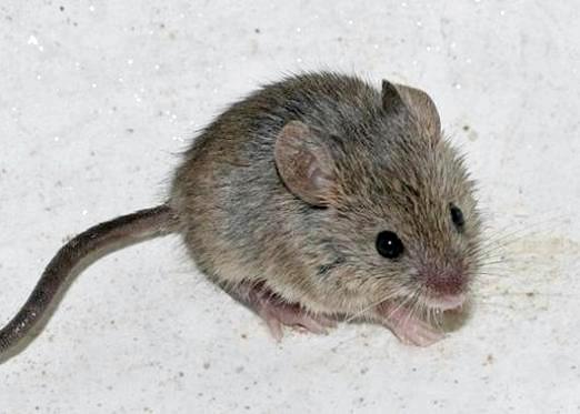 Фото - До чого сниться сіра миша?