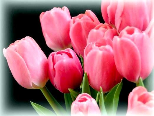 Фото - До чого сняться тюльпани?