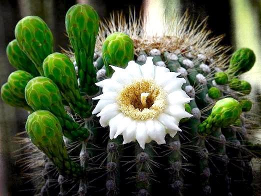 Фото - Як цвітуть кактуси?
