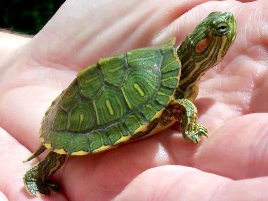 Фото - Як визначити вік черепахи?