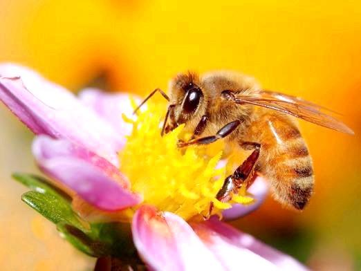 Фото - Як бджоли роблять мед?