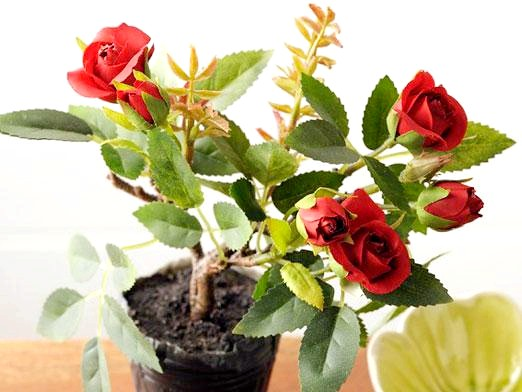 Фото - Як пересадити кімнатну троянду?