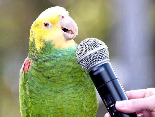 Фото - Як співають папуги?