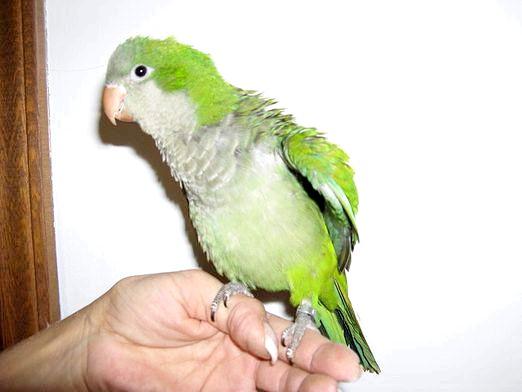 Фото - Як зрозуміти папугу?