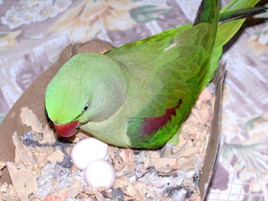 Фото - Як папуги висиджують яйця?