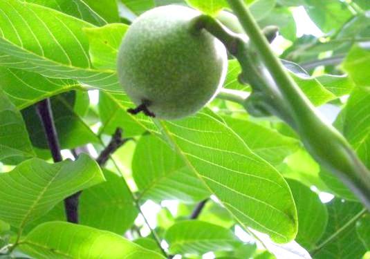 Фото - Як посадити горіх?