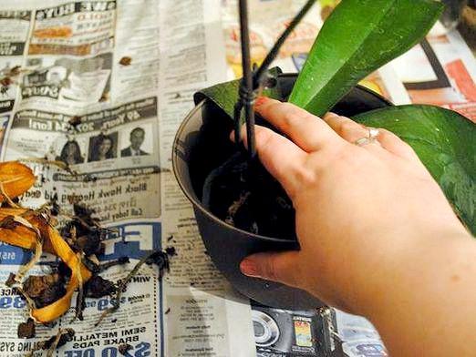 Фото - Як розсадити орхідею?