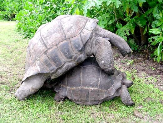 Фото - Як розмножуються черепахи?