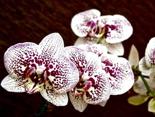 Фото - Як доглядати за орхідеями фаленопсис?