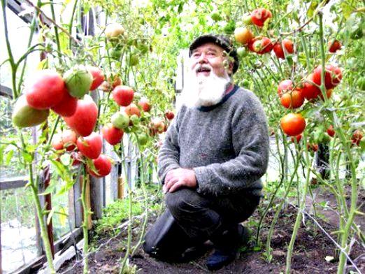 Фото - Як доглядати за помідорами?