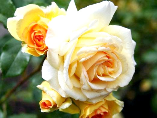 Фото - Як доглядати за трояндами?