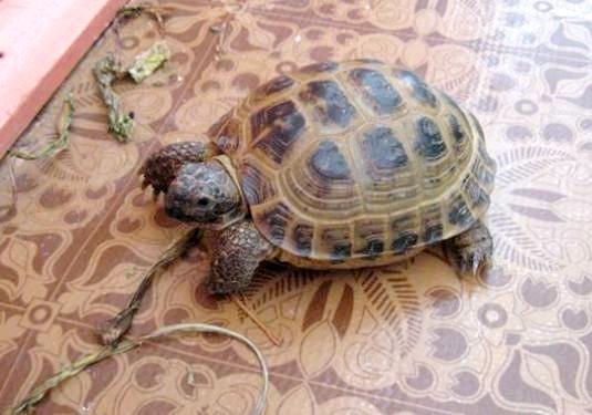 Фото - Як доглядати за сухопутними черепахами?