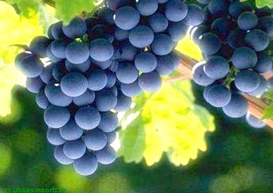 Фото - Як доглядати за виноградом?