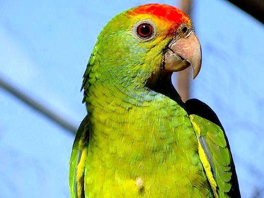 Фото - Як виглядає папуга?