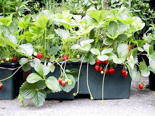 Фото - Як вирощувати полуницю?