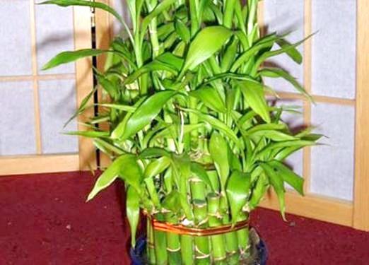 Фото - Як виростити бамбук?