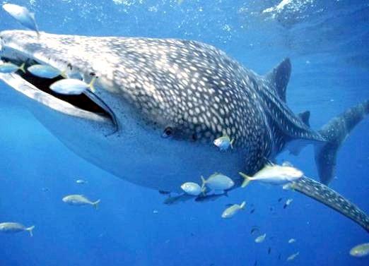 Фото - Яка риба найбільша?