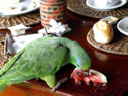 Фото - Які фрукти можна папузі?