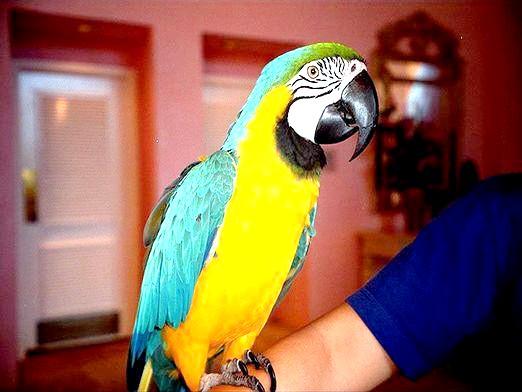 Фото - Які папуги розмовляють?