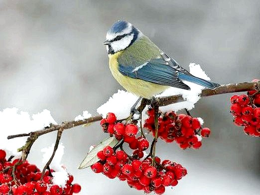 Фото - Які птахи зимують?