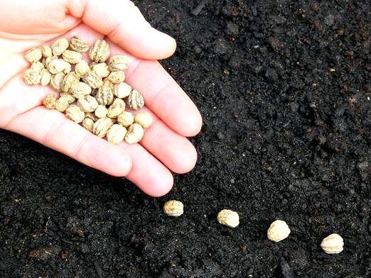 Фото - Яке насіння краще?