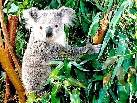 Фото - Які тварини в австралії?