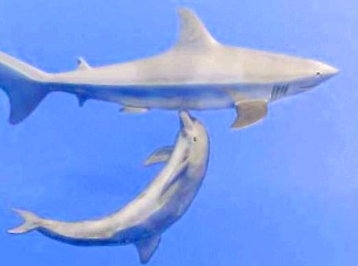 Фото - Чому акули бояться дельфінів?