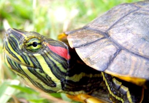 Фото - Чому черепаха червоновуха?