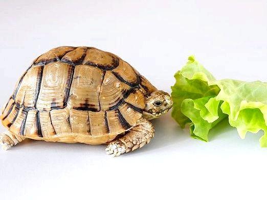 Фото - Чому черепаха не їсть?