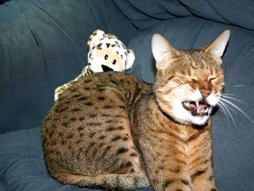 Фото - Чому кішка чхає?