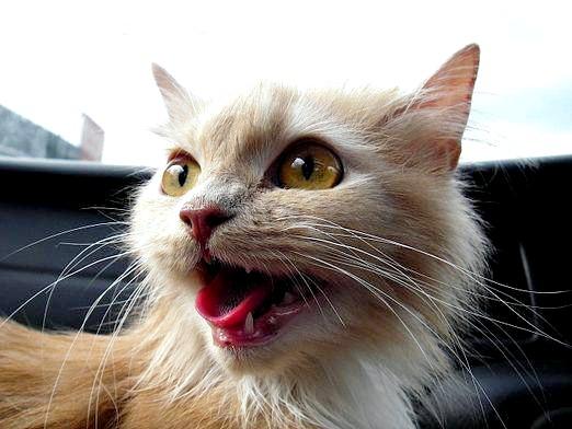 Фото - Чому кішки нявкають?