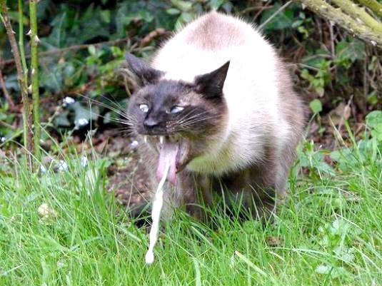 Фото - Чому кішку рве?