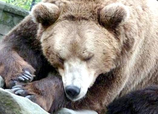 Фото - Чому ведмеді сплять взимку?