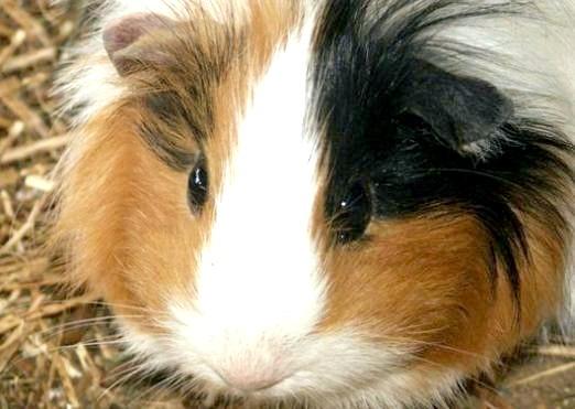 Фото - Чому морські свинки - морські?