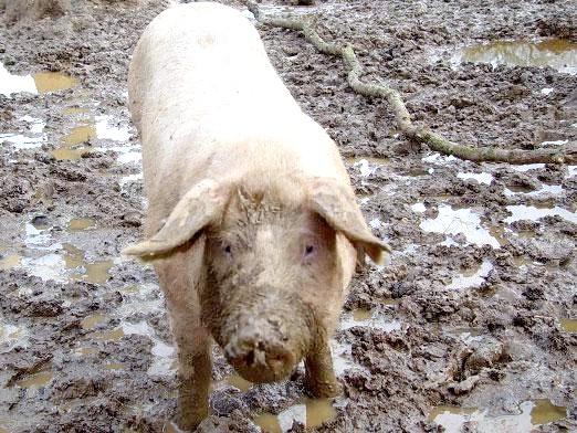 Фото - Чому мусульмани не їдять свинину?