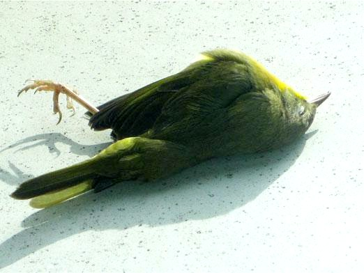 Фото - Чому падають птахи?