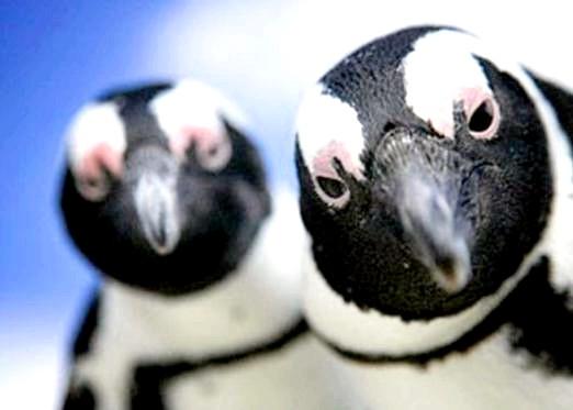 Фото - Чому пінгвіни не літають?