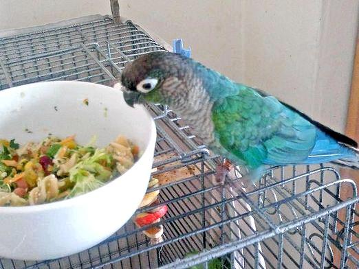 Фото - Чому папуга не їсть?