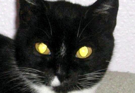 Фото - Чому у кішок світяться очі?