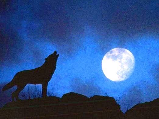 Фото - Чому вовки виють на місяць?