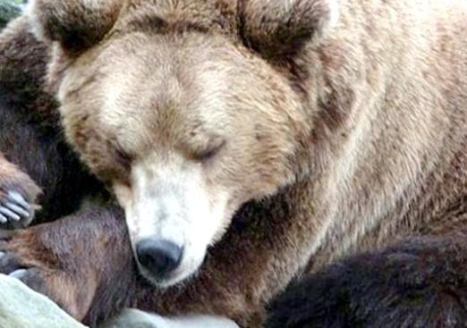 Фото - Чому взимку ведмідь спить?