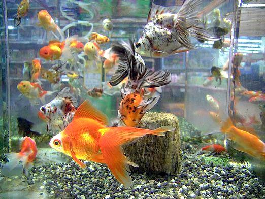 Фото - З ким уживається золота рибка?