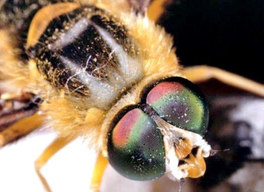 Фото - Скільки очей у бджоли?