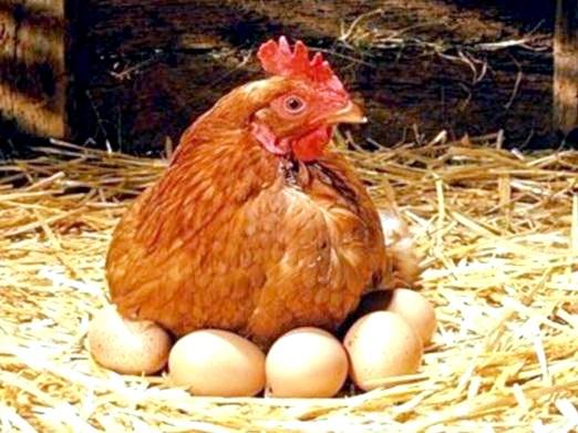 Фото - Скільки курка несе яєць?