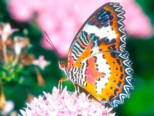 Фото - Скільки живуть метелики?
